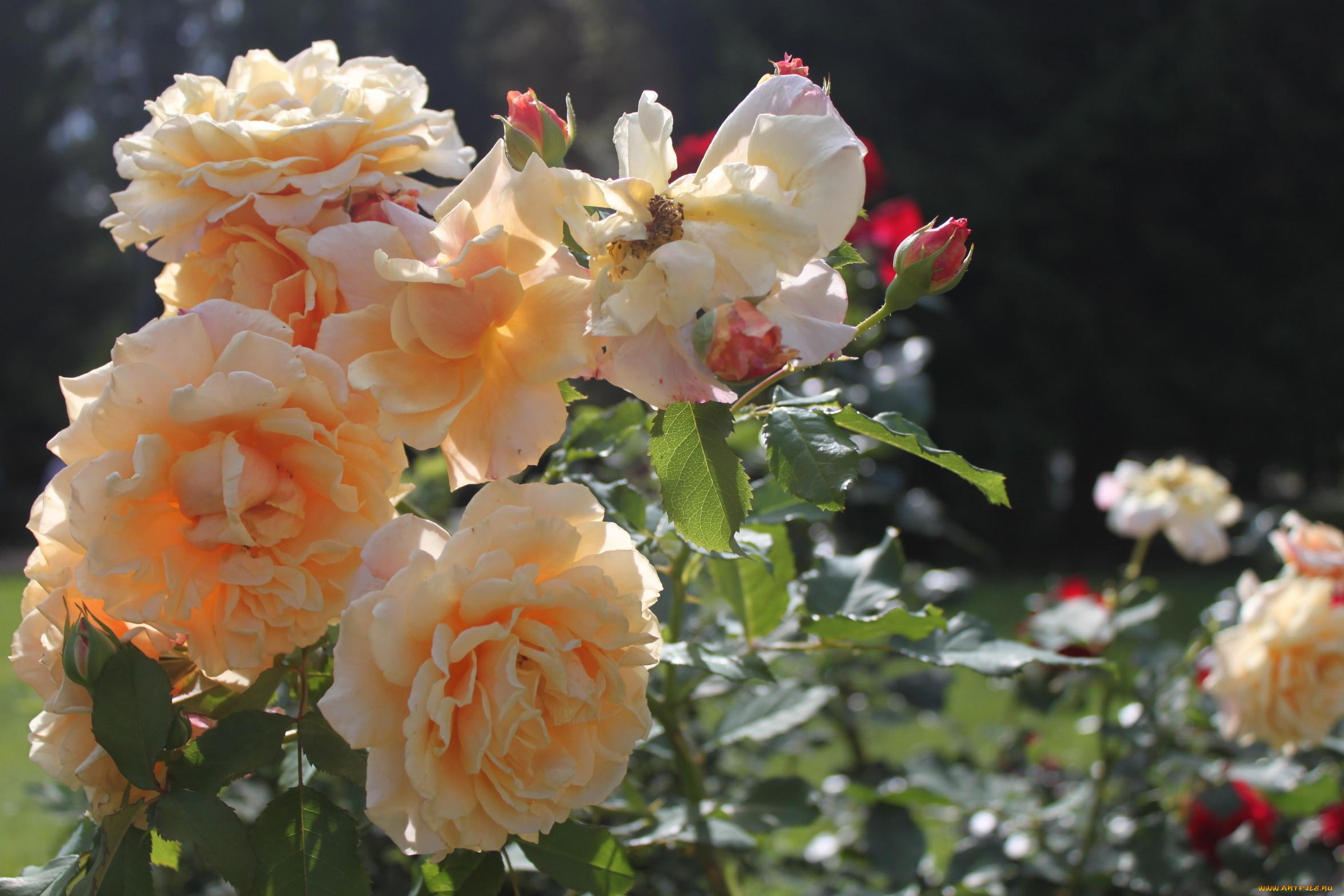 жена белом фото чайная роза в саду германии